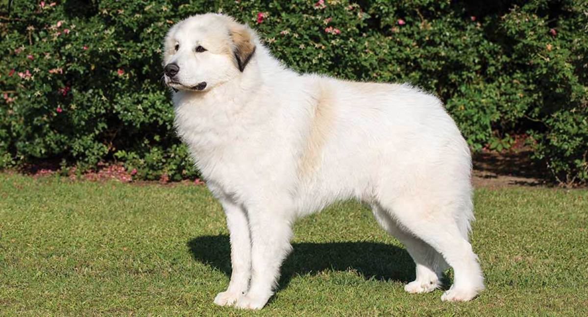 The thick coat of the Great Pyrenees gives the tall impression of heavier bone and stature.