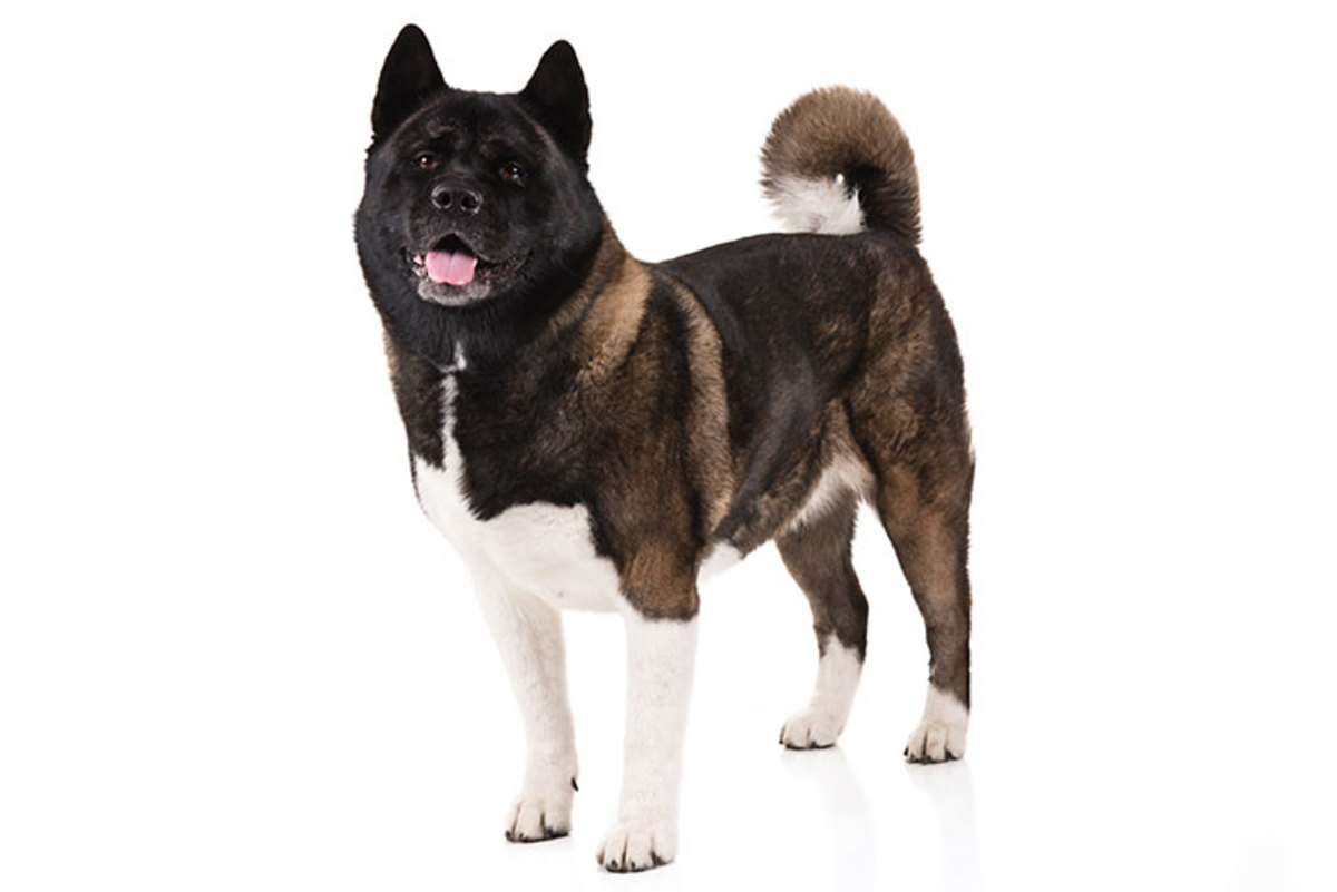 Akitas are muscular, double-coated  Japanese lineage famous for their dignity, courage and loyalty. In their  family protectors and symbols of good health, happiness, and long life.