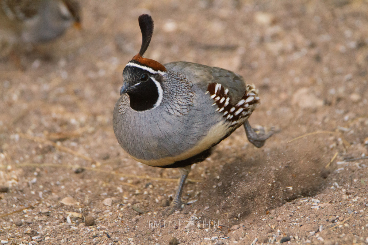 Learn About the Gambel's Quail