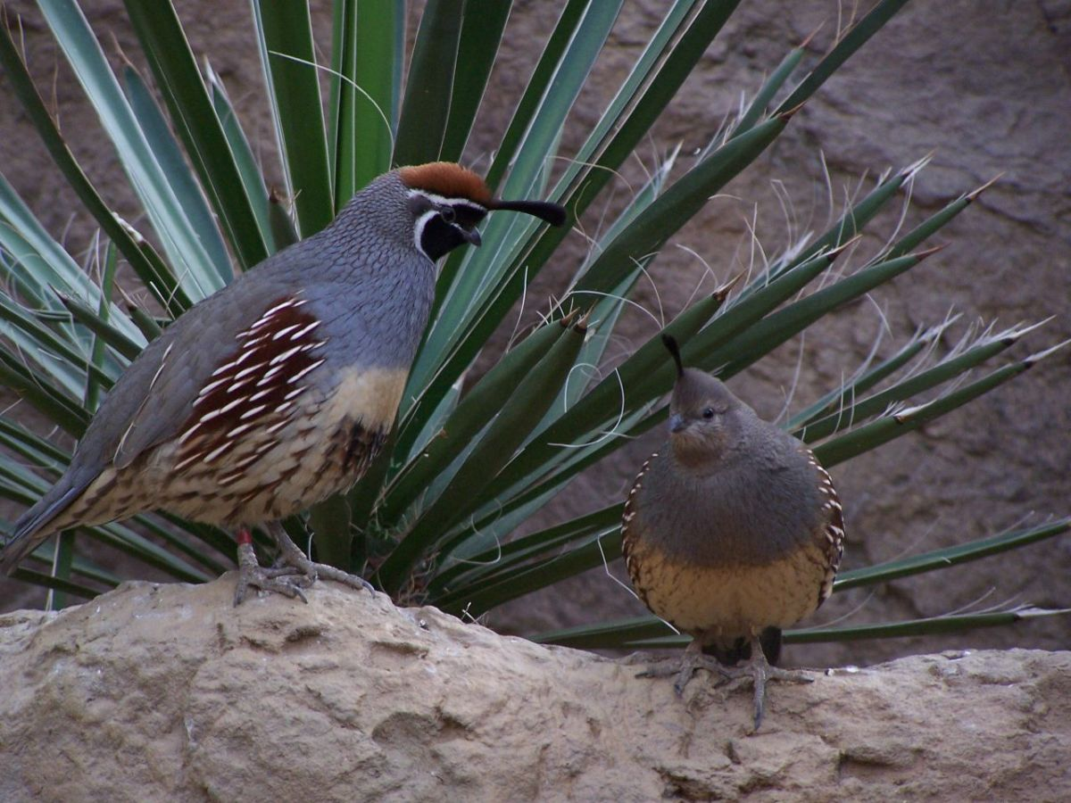 Gambel's Quail. A pair at Indianapolis Zoo, USA.