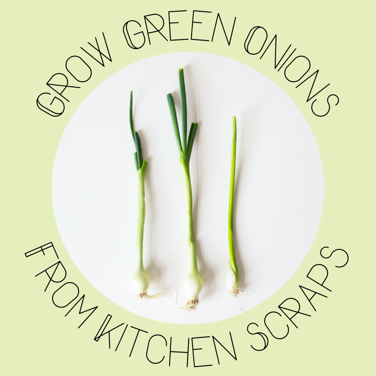 Ready-to-eat green onions are easy to grow.