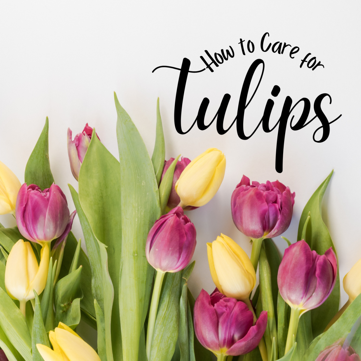 How to take care of tulips after they bloom.