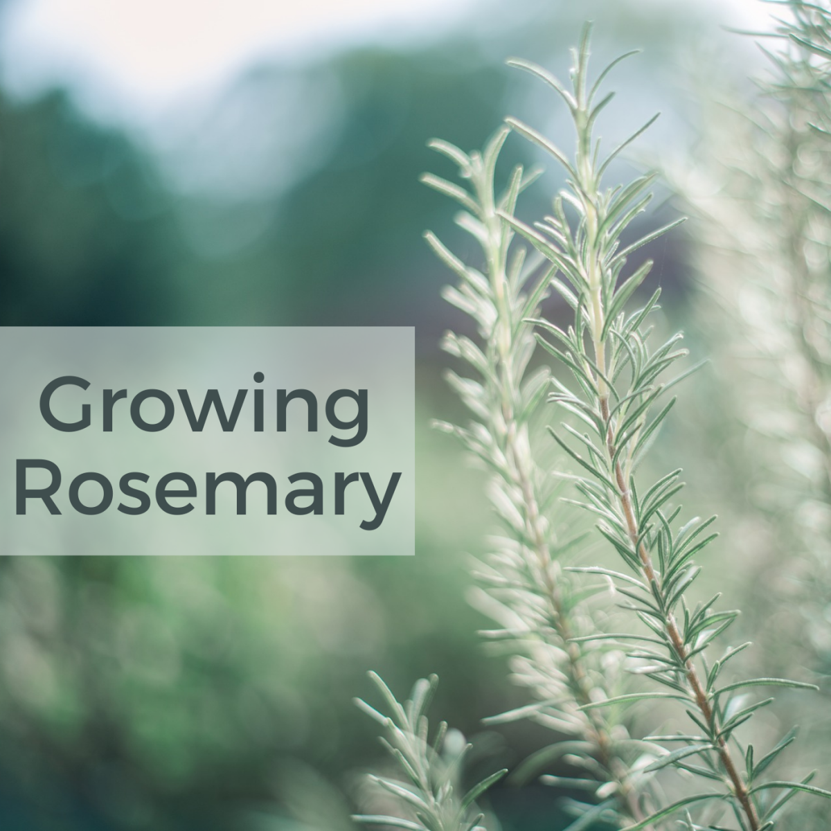 Rosemary is a fragrant and versatile herb.
