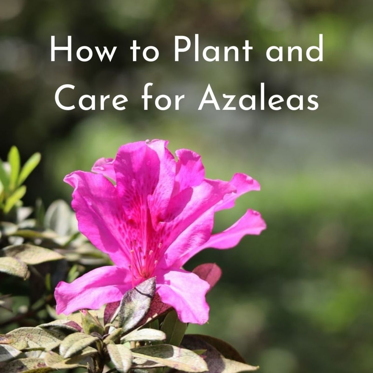 Azaleas are a great addition to any garden.