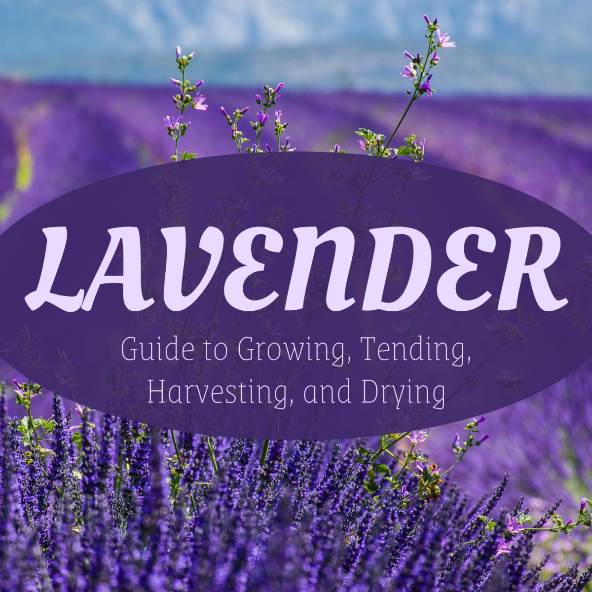 Lavender is a gorgeous (and gorgeous-smelling!) plant to grow in your garden.