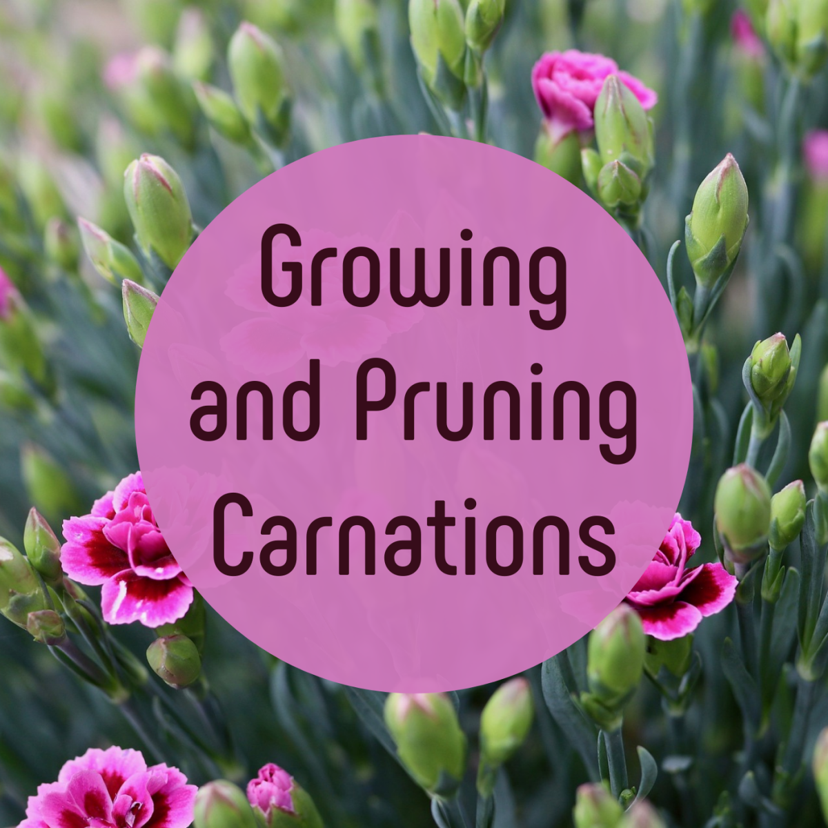 Learn how to grow and care for carnations in your garden, whether you start them from cuttings or seeds.