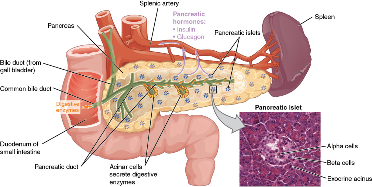 pancreas, accessory organs