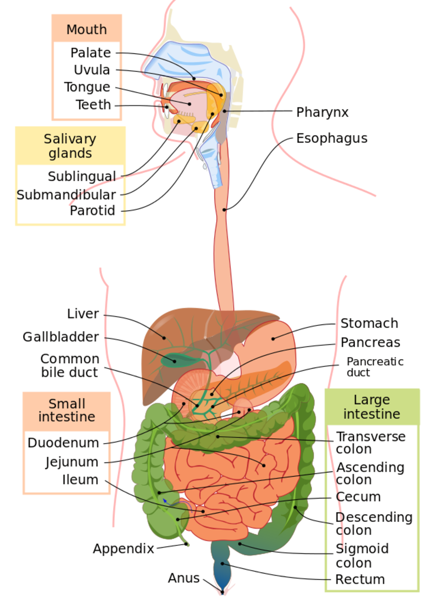 role-of-human-digestive-system