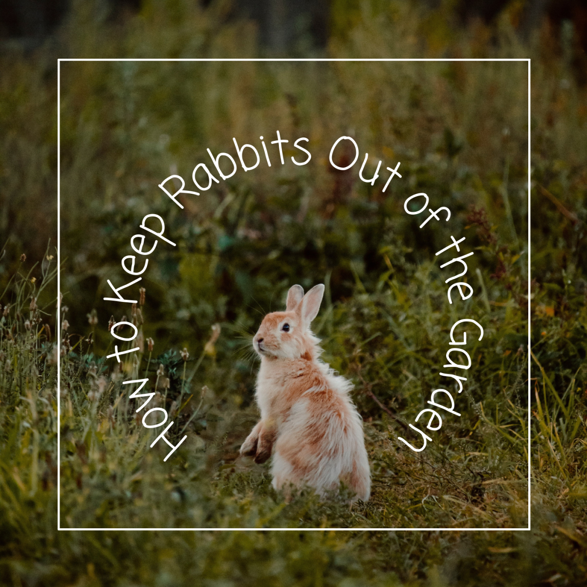 Learn how to keep rabbits out of your garden to preserve your vegetables.