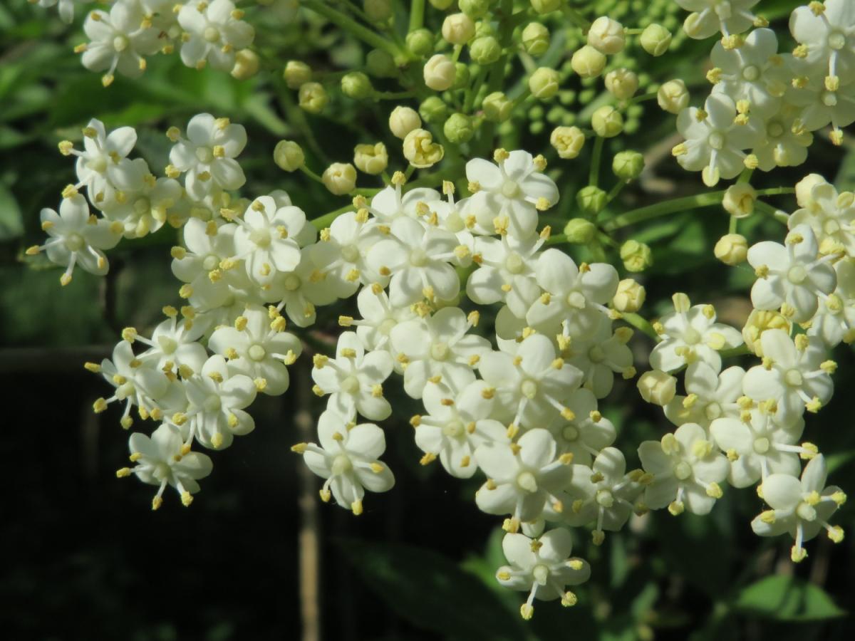 A close up of the flowers of Sambucus nigra.