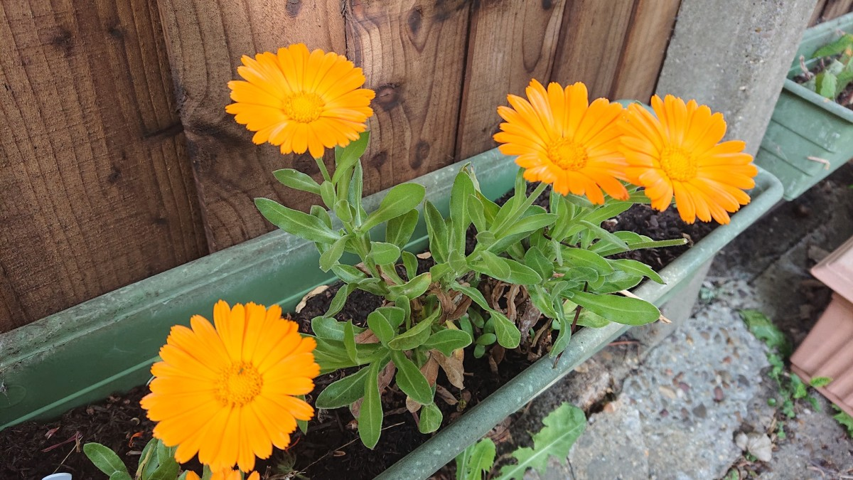 Calendula is a fast growing plant that is happiest in light poor soils that drain well.
