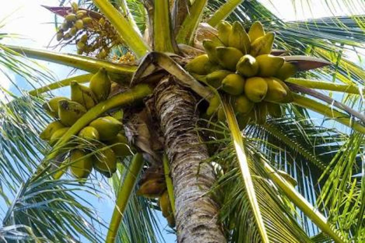 Coconuts are healthy food . They can be consumed in many ways!