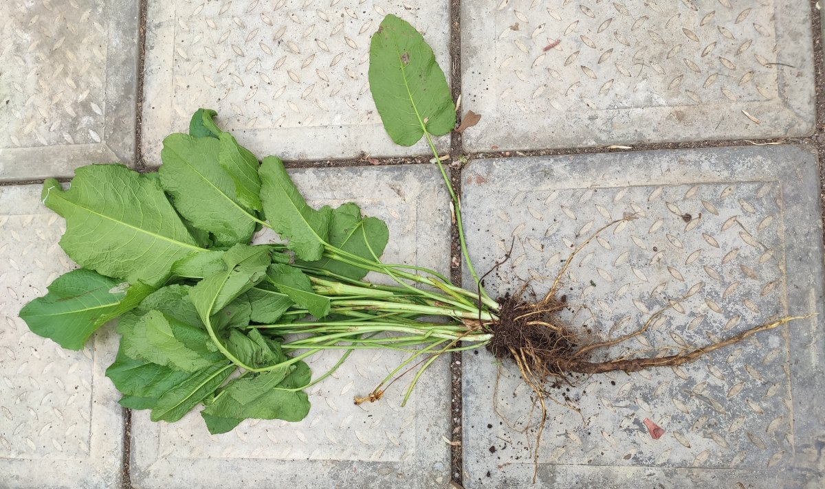 Dock weed successfully removed with the taproots intact.