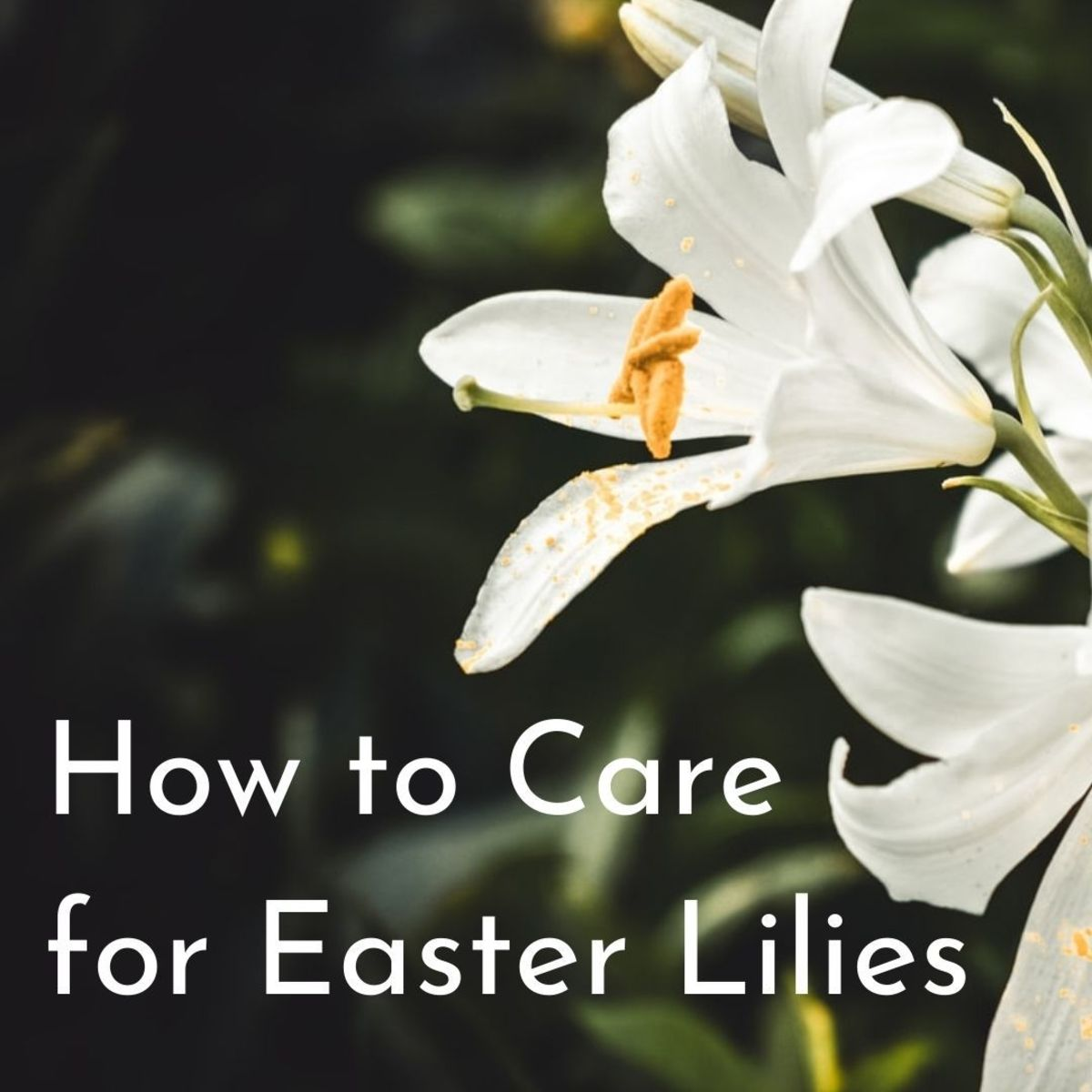 The Easter lily is a symbol of the resurrection of Christ and is referred to often in the Bible.