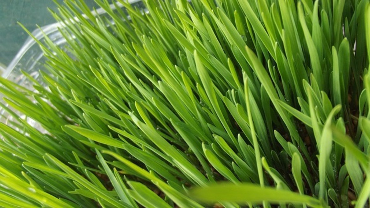 This article will break down how to grow your own wheatgrass.