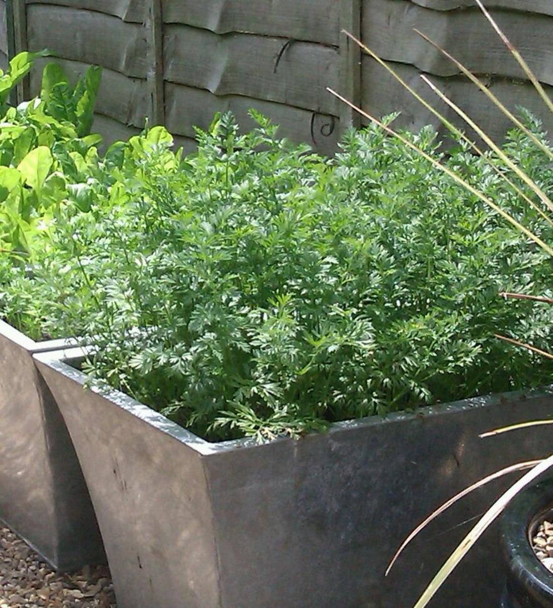Carrots in metal container