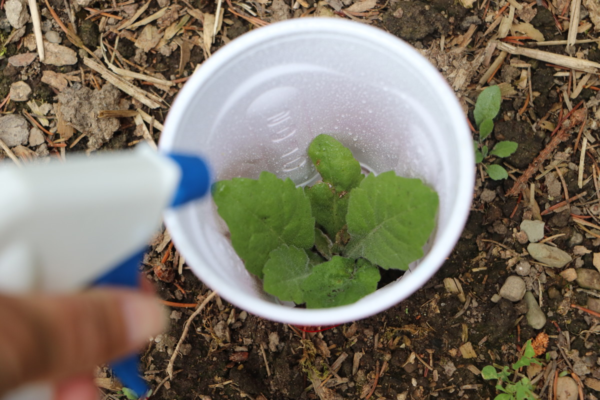 Protect surrounding plants from non-specific weed-killing spray by using a plastic cup with the bottom cut out as a barrier.