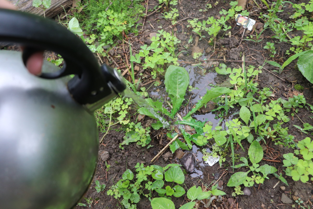 Boiling water is a completely non-toxic way to kill weeds in the garden. Use a tea kettle as an easy way to control the direction of boiling water in your garden. This will keep your plants safe while eliminating the targeted weed.