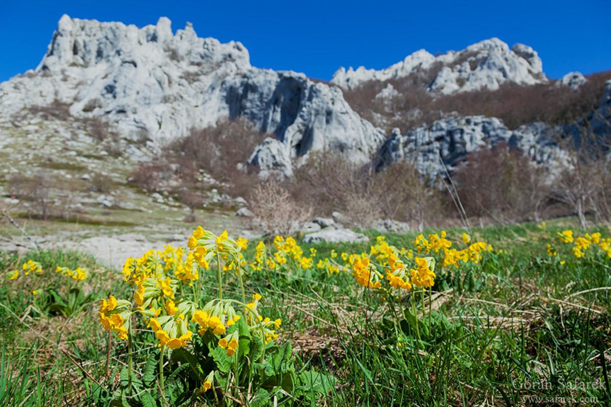 Žuka grows in Velebit region