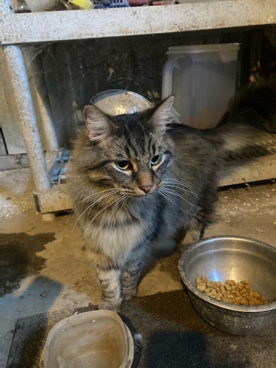 acclimating-an-indoor-cat-to-farm-life-successfully