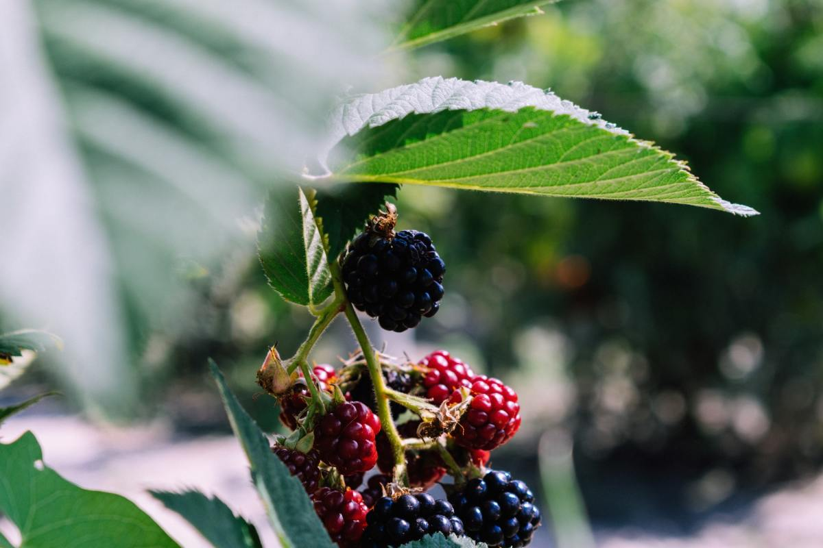 Blackberries on the cane