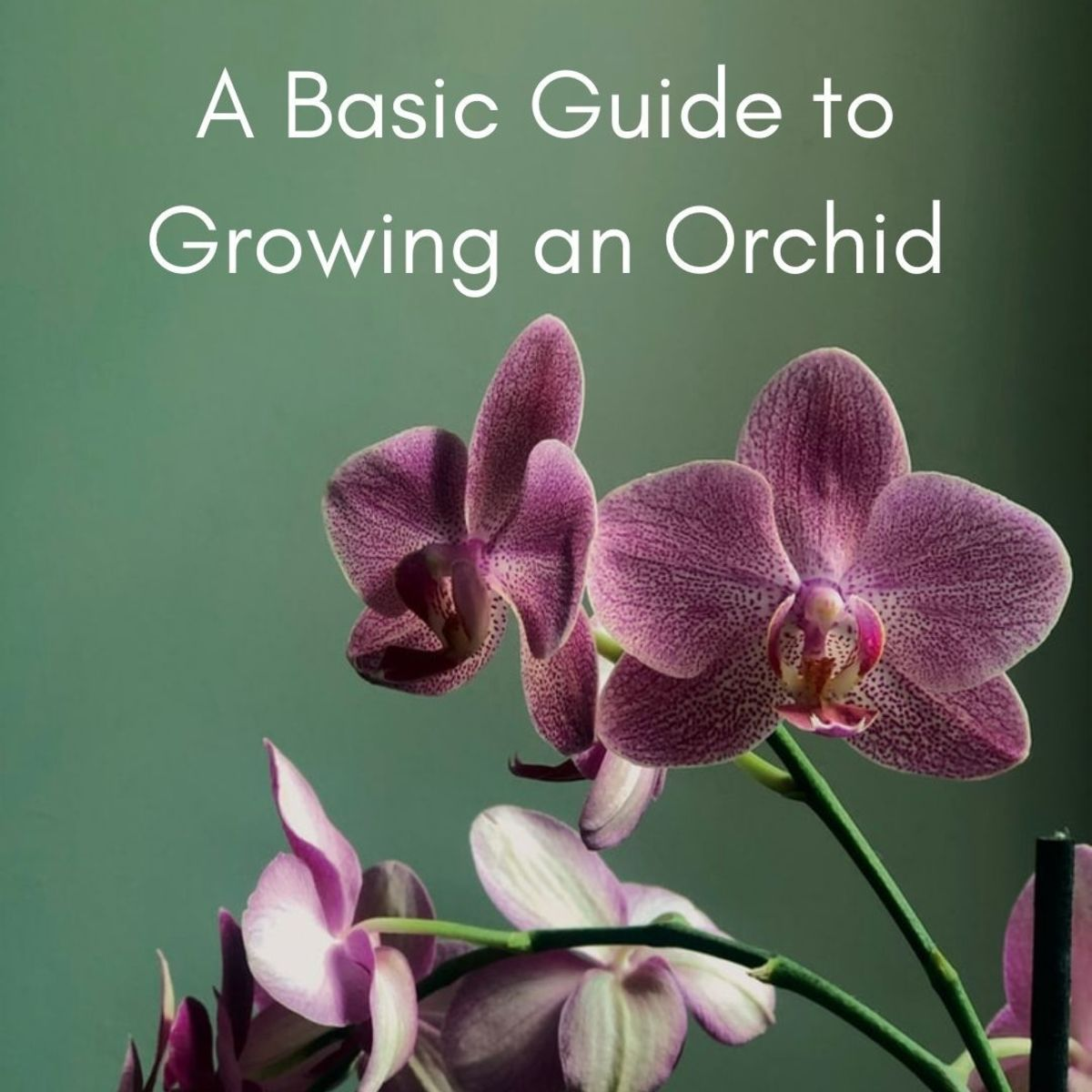 Orchids are relatively simple to grow indoors; you'll just need to know where to locate your plant and maintain water levels.