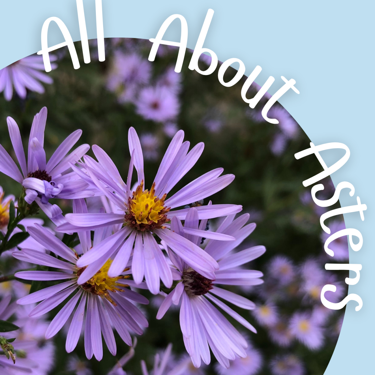 Asters: The Stars of Your Fall Garden