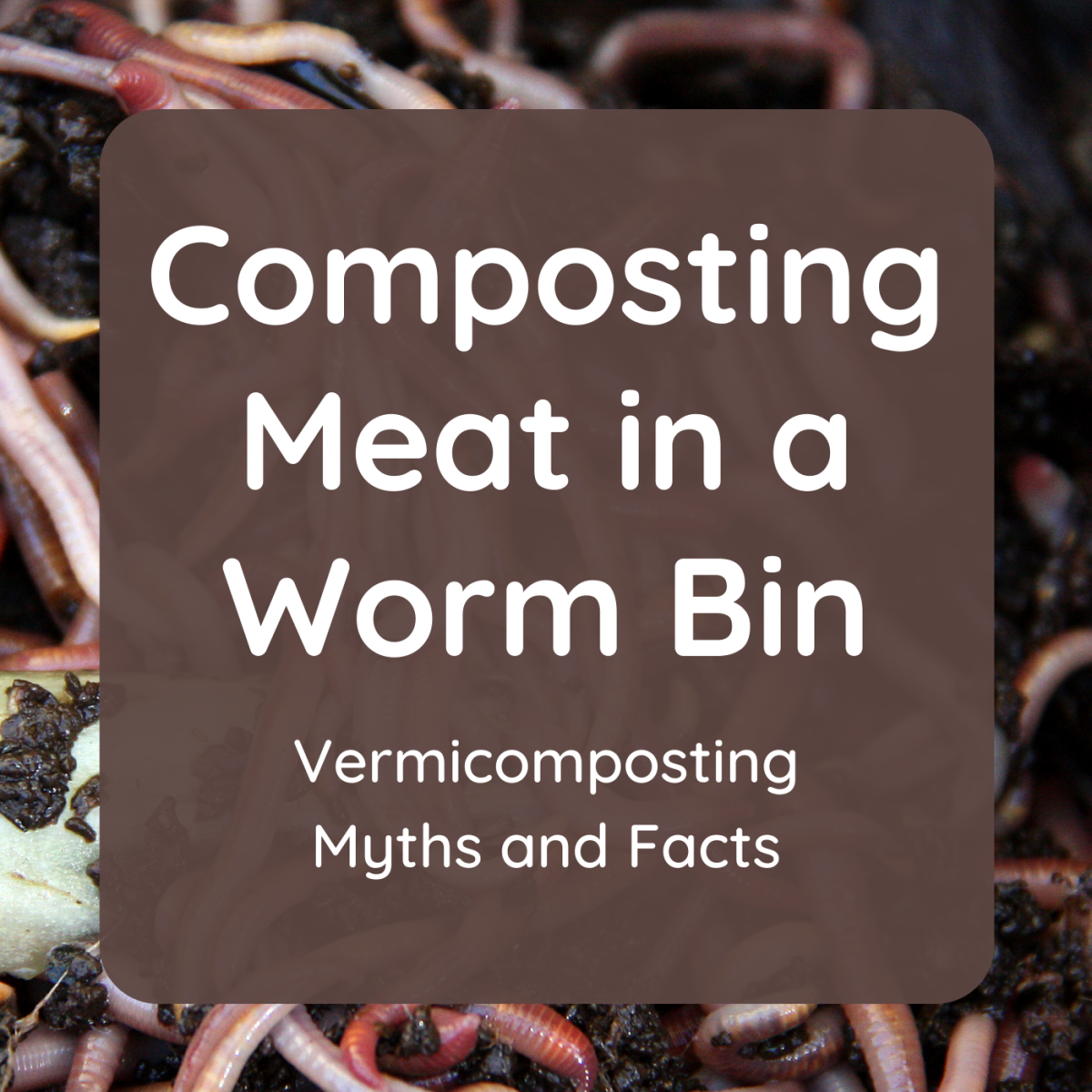 Contrary to popular belief, I have successfully composted meat in my worm bin. Discover some other myths and facts about vermicomposting.