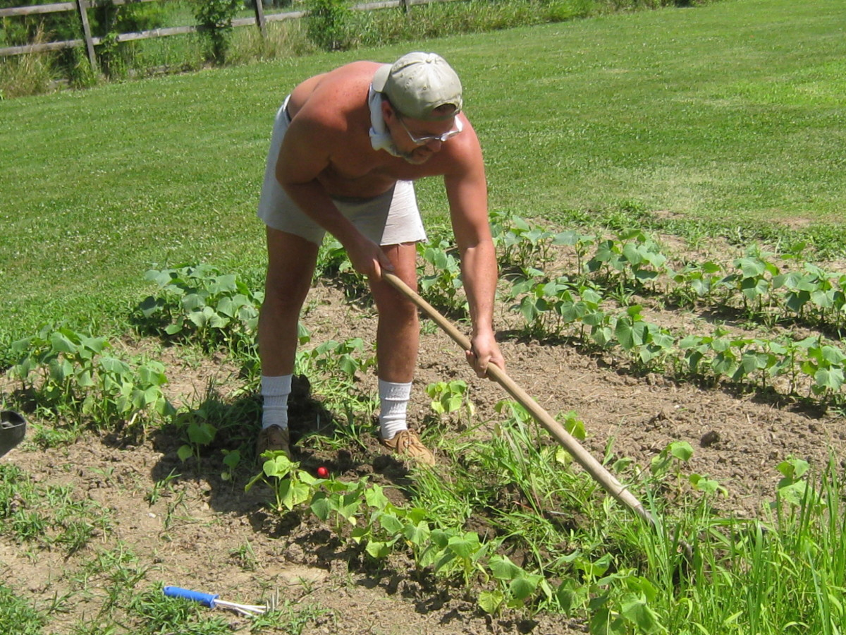 Hoeing and weeding the pumpkin and cucumber vines garden