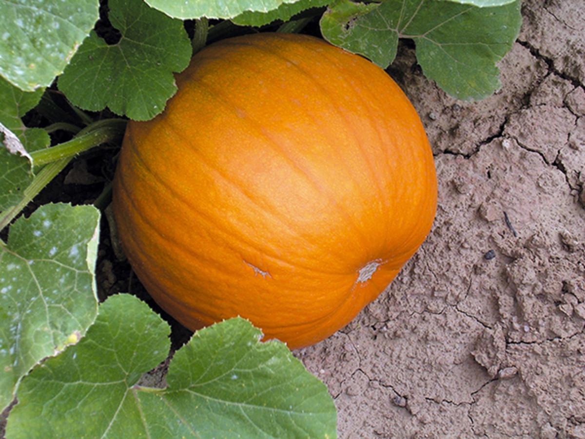 'Harvest Moon'