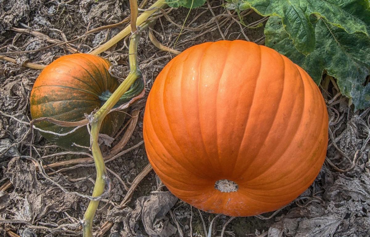 growing-pumpkins-in-your-ohio-garden