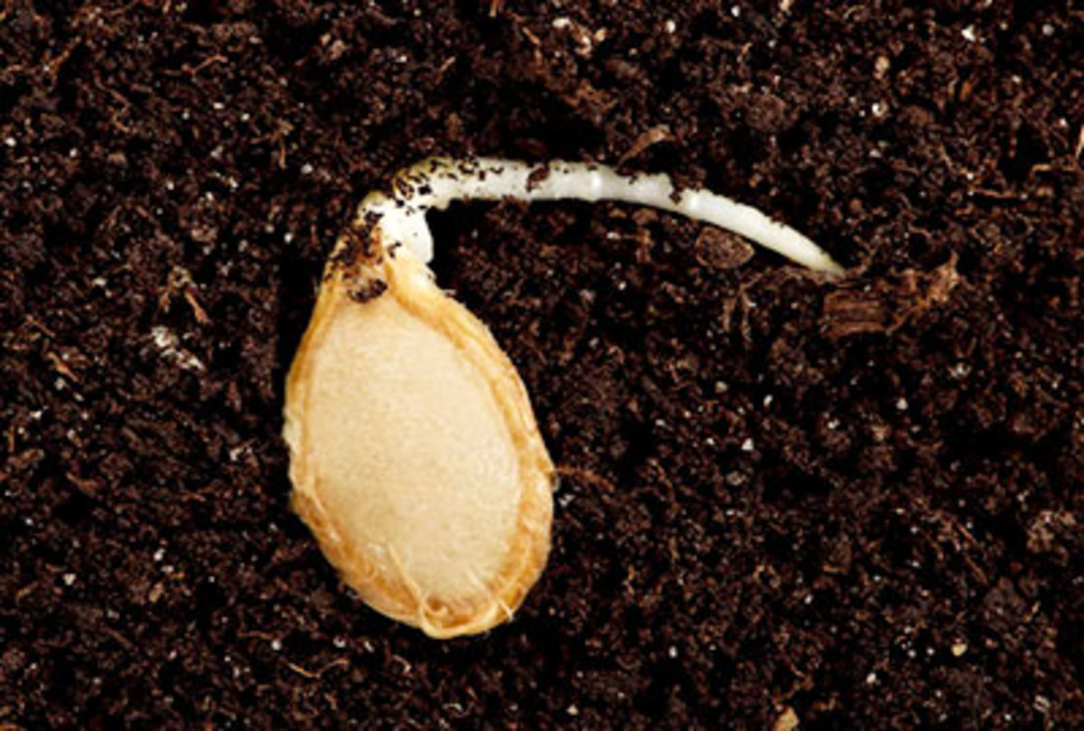 Sprouting seed