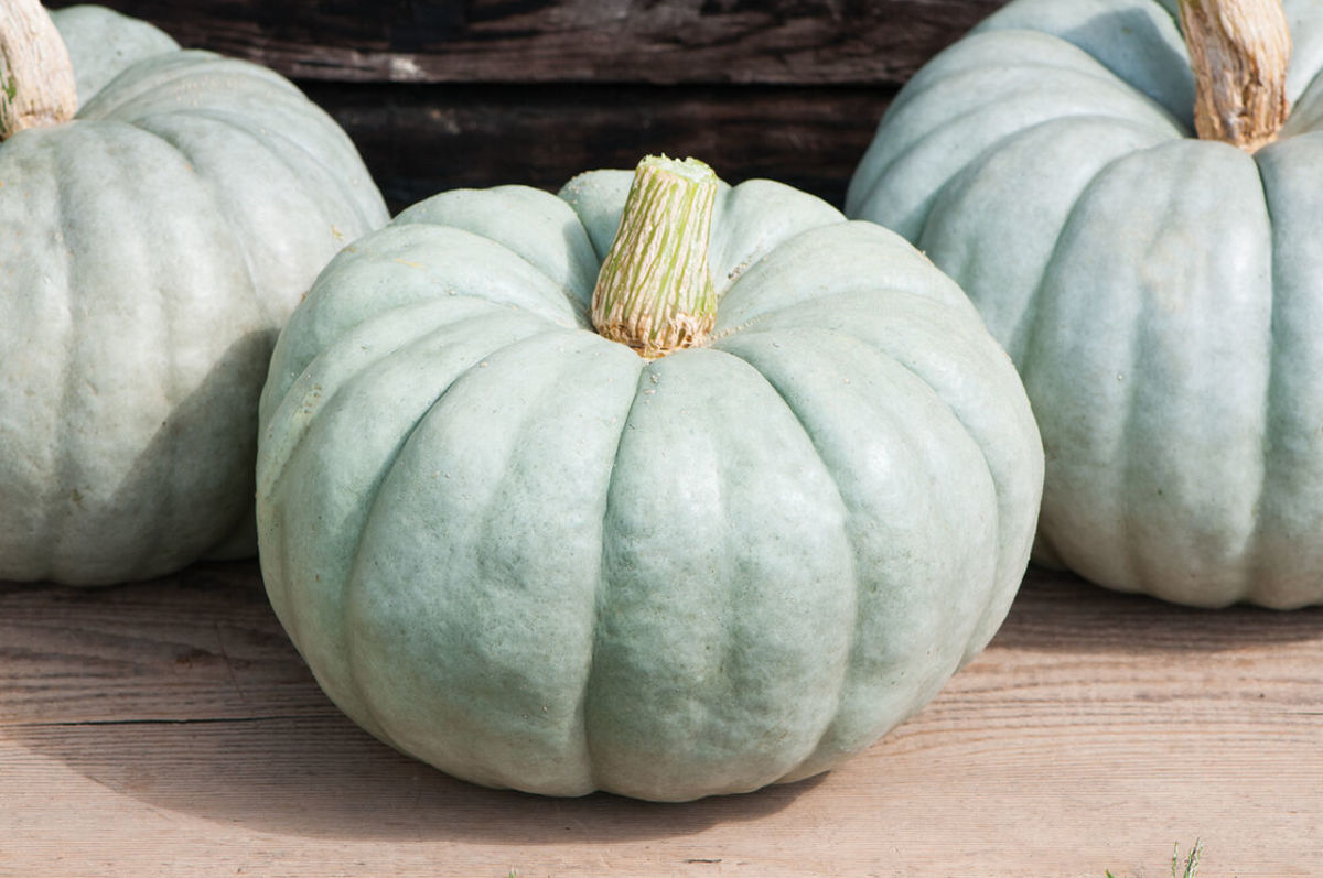 Jarrahdale pumpkins have orange seedy insides reminiscent of cantaloupes.