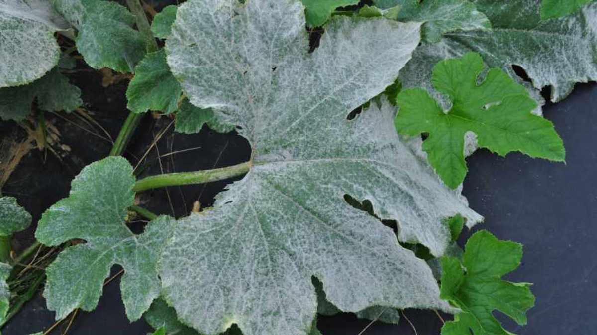 Powdery mildew on a pumpkin leaf