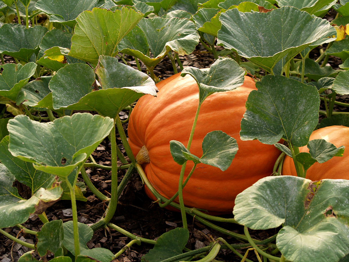 Mid size pumpkins are great for Halloween