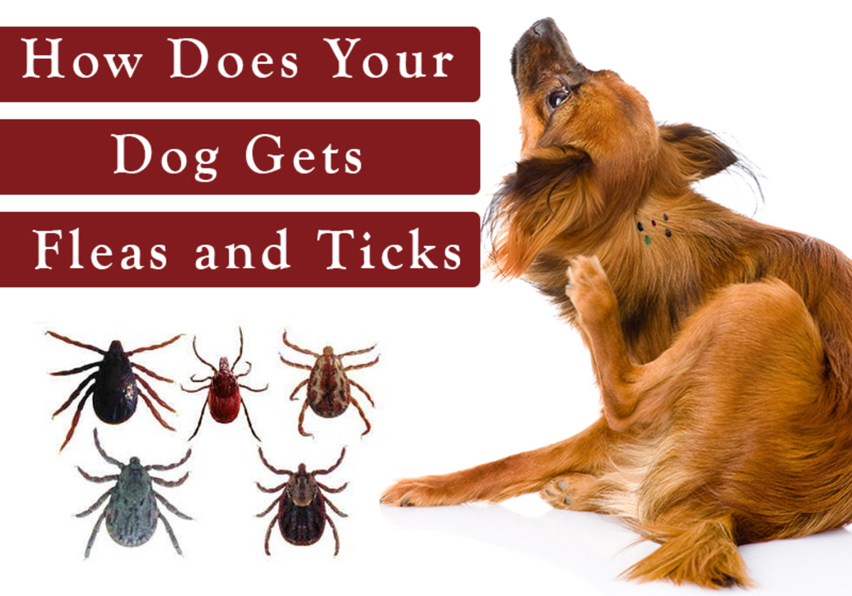 Natural and Herbal Home Remedies to Prevent Ticks and Fleas