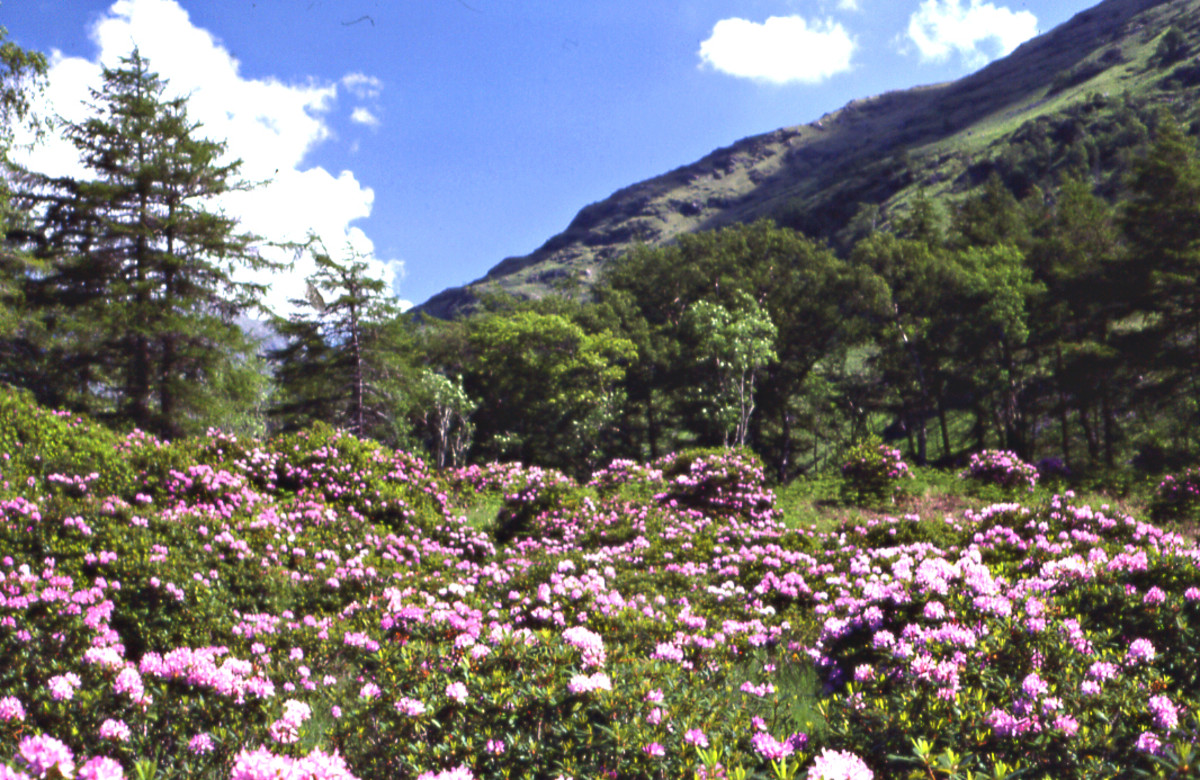 Glen Etive - Rhododendrons in bloom