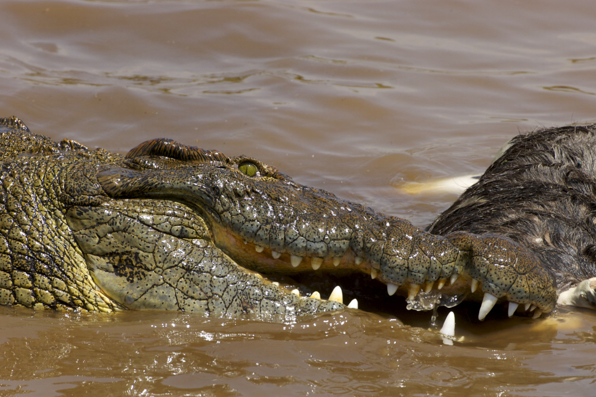 This Nile crocodile is feeding on a Wildebeast, but the species is also responsible for a startling number of human deaths each year.