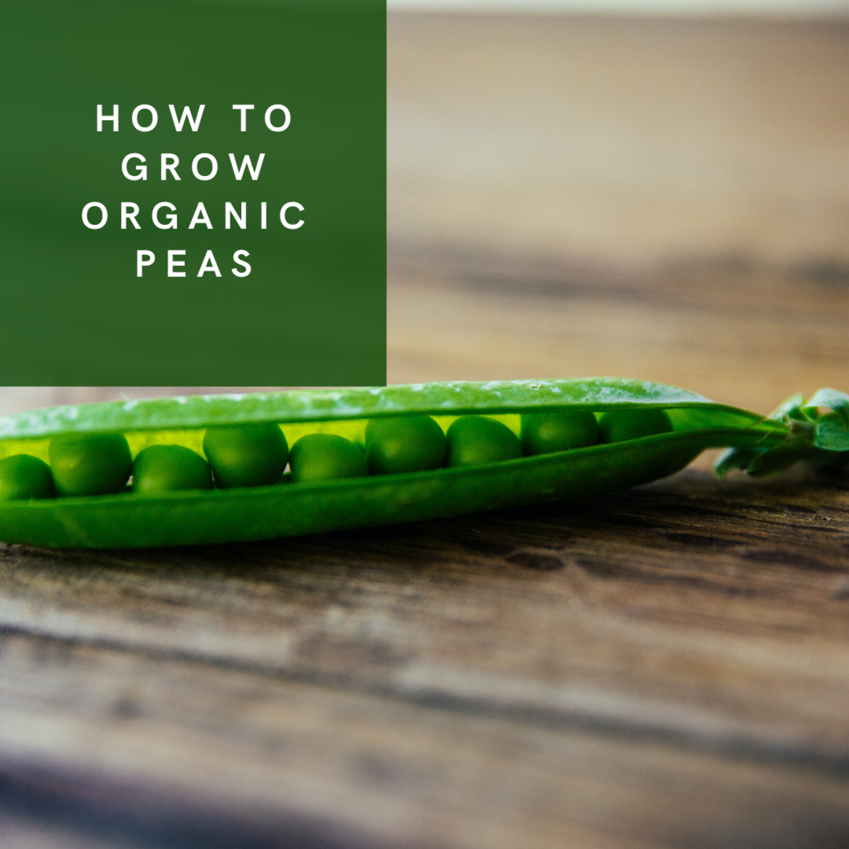 Learn how to grow your own organic peas!