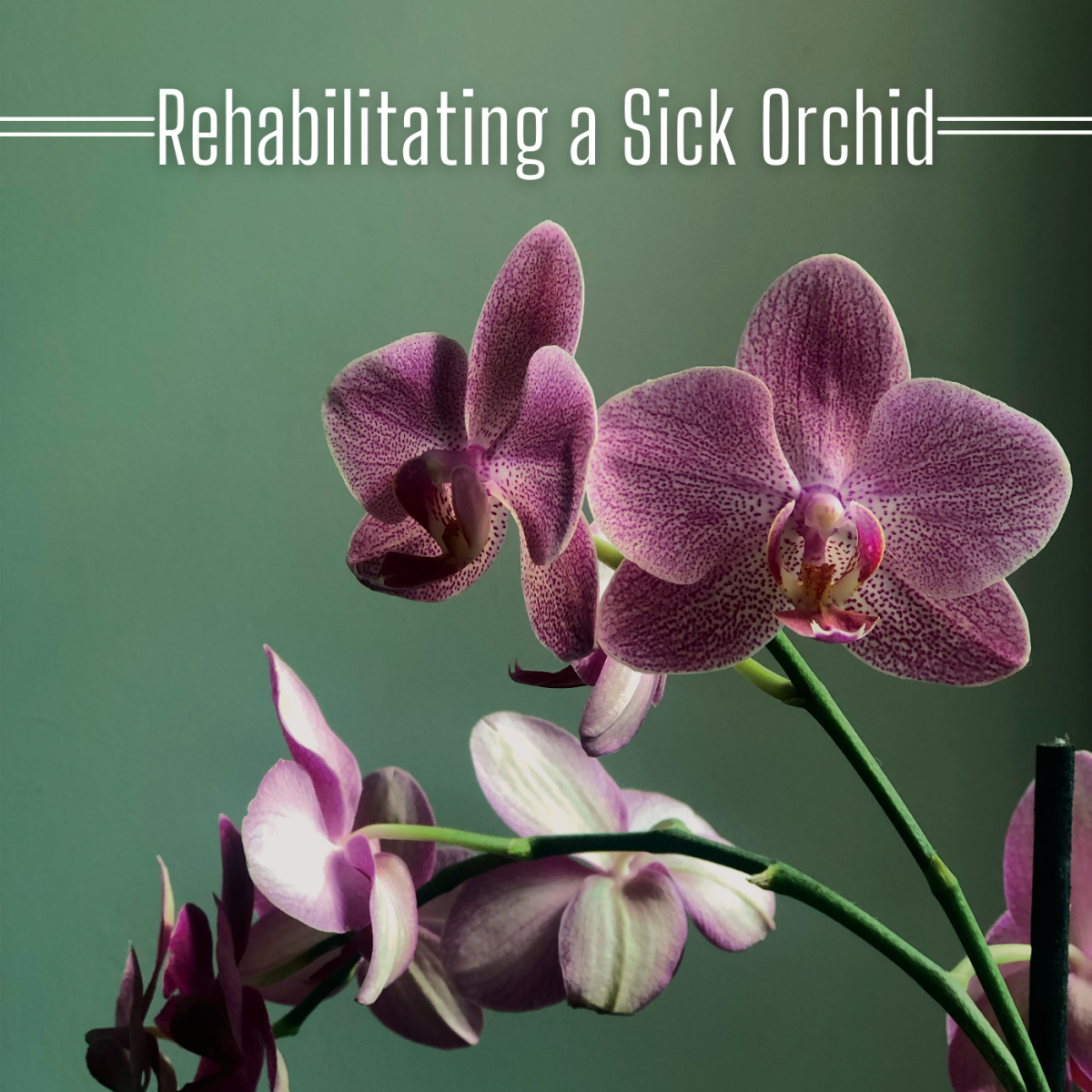 Learn how to bring a sick orchid back to health.