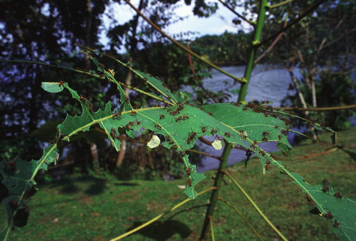 Leafcutter Ants and Leaf Damage