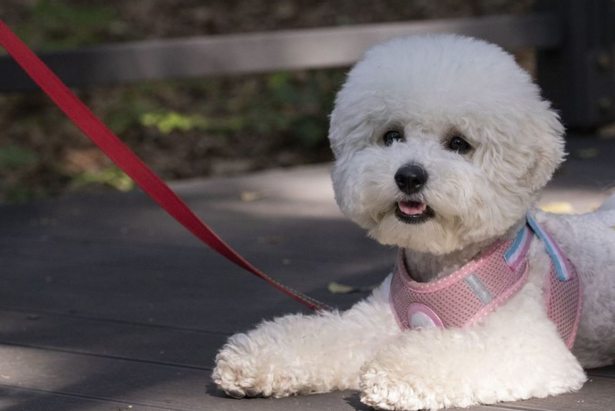 If your dog puppy stops walking, he may be tired, warm, not feeling well or he may be struggling with wearing the leash and collar.