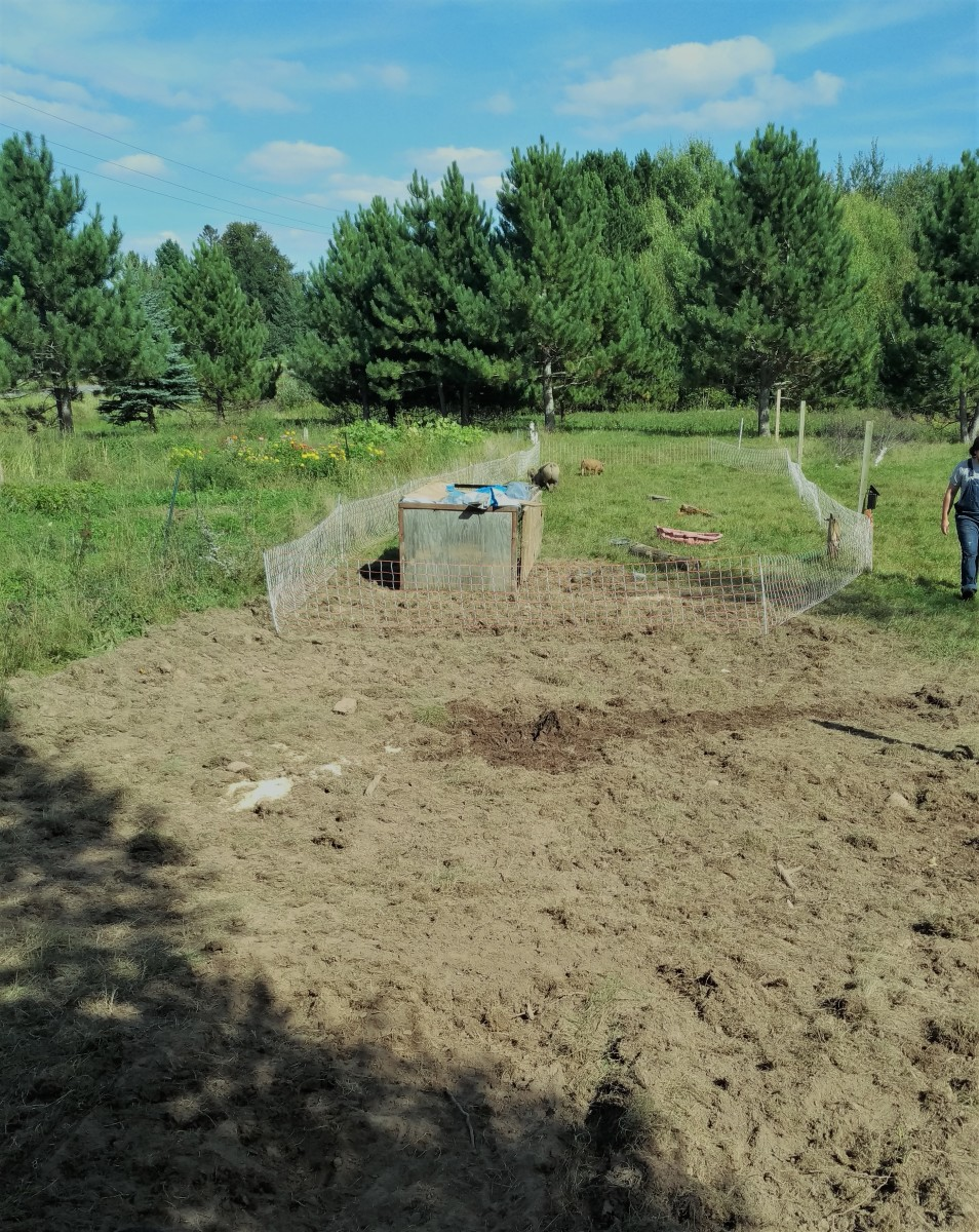 Rotating livestock with net fences allows more varied use of the land. Here I was rotating pigs in order to turn unwanted grassland into market garden space.