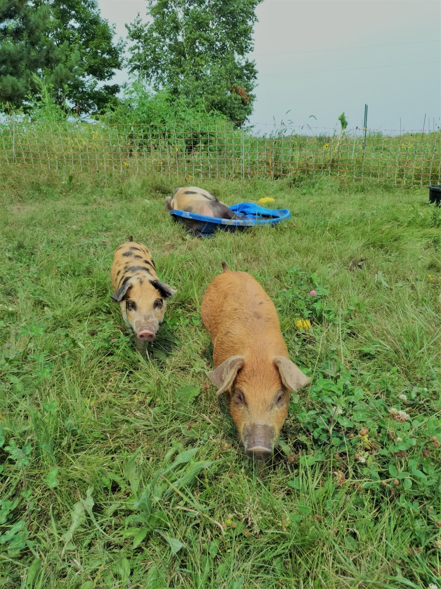 """I used electric pig netting to """"graze"""" feeder pigs on a portion of my land that I was going to use to extend my market garden. The pigs """"tilled"""" it up for me!"""