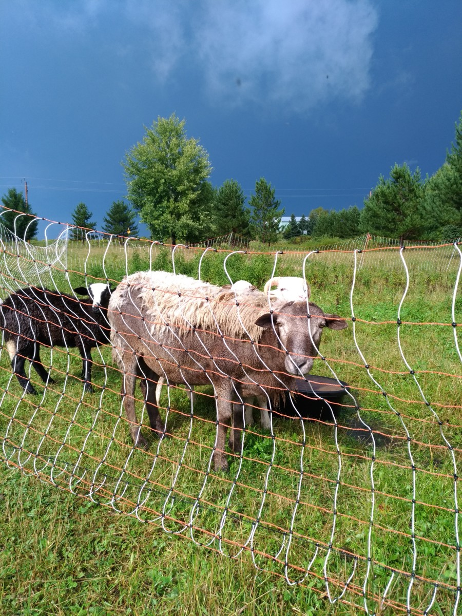 Rotational grazing of livestock is a method of using the available space that animals have for forage in a more controlled, efficient way that also benefits the land itself.