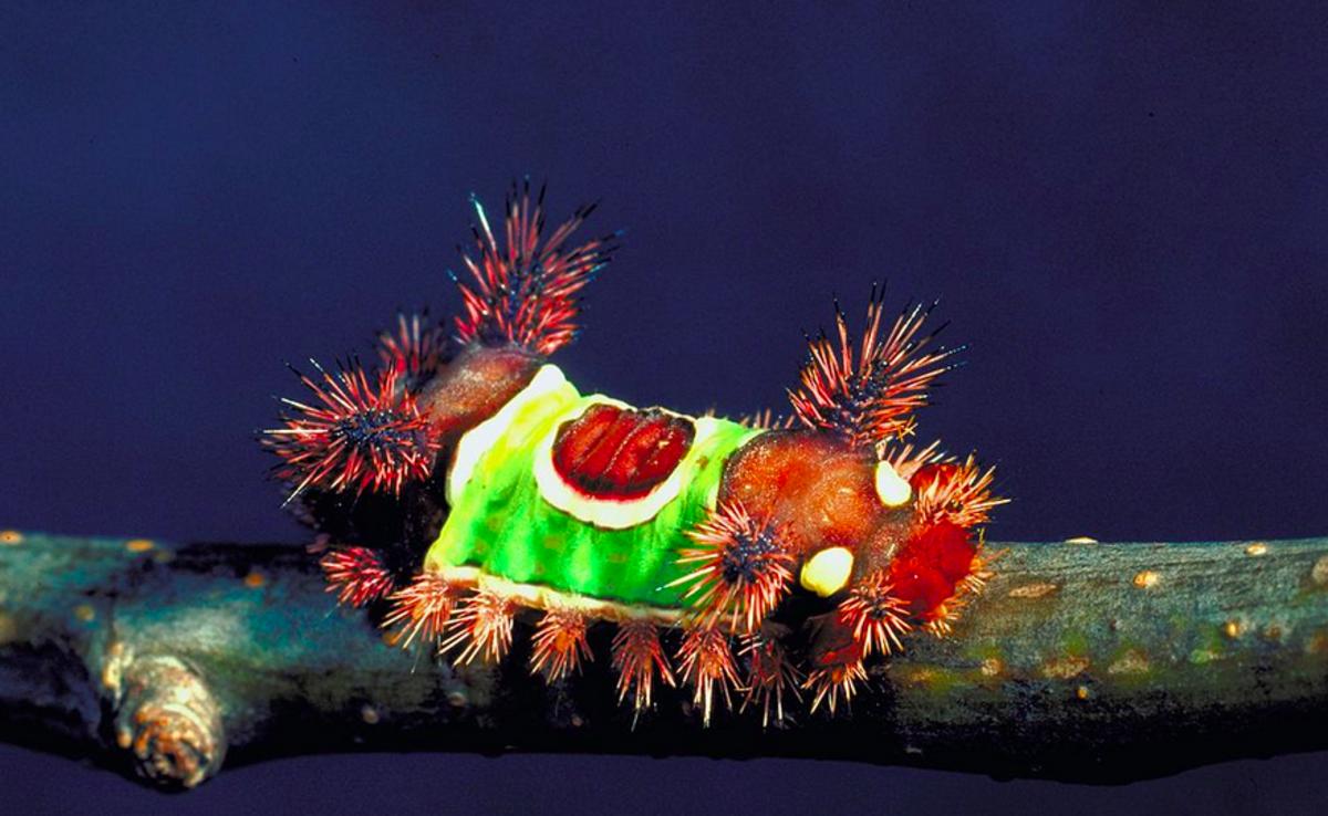 The toxic -- and common -- saddleback caterpillar