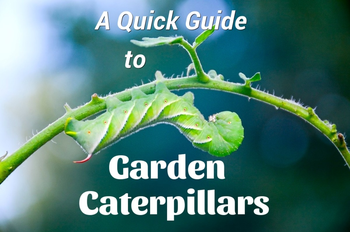 A list of common caterpillars, with photos.
