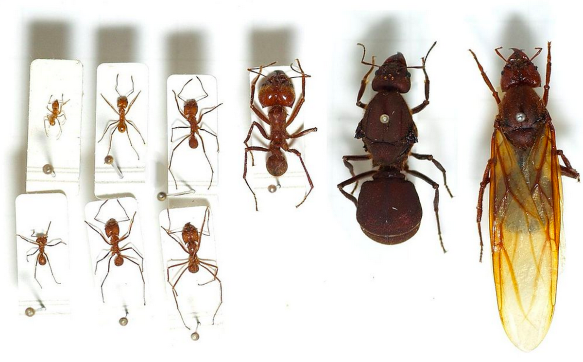 Ant specimens showing different forms.