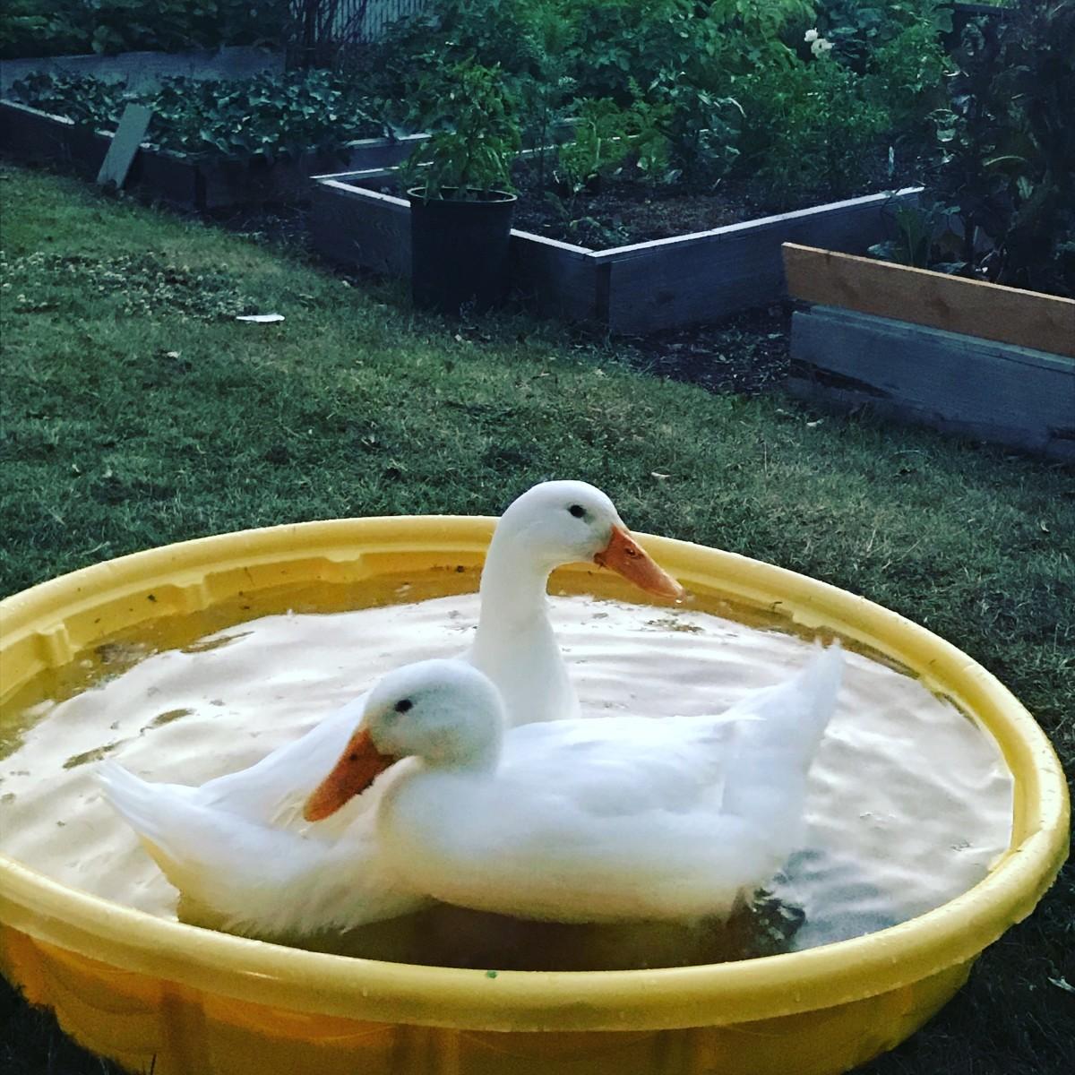 Pekin ducks going for a swim