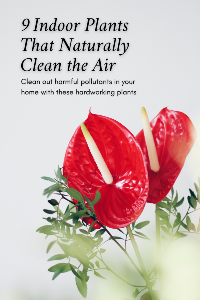 This guide will share nine wonderful plants that will help clean out the air in your home, including the lovely anthurium.